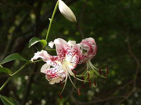 kumpulan gambar bunga bakung lily terindah alamendahs