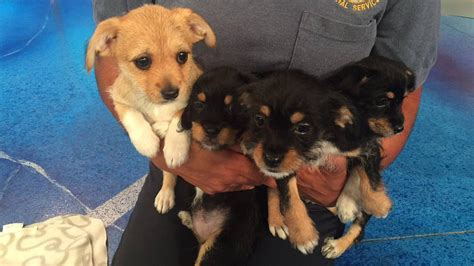 terrier mix puppies pet of the week 4 border terrier mix puppies abc7