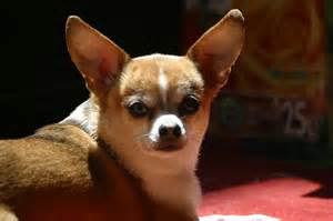 chihuahua colors chihuahua small breed breeds of small dogs best