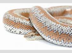Rosy Boa - Snake Facts Western Diamondback Rattlesnake Head