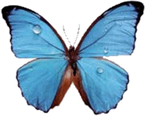 Wallpaper Gif Butterfly | blue butterfly butterflies animals background