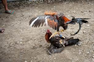 Cockfighting and chicken history the world slasher cup in the