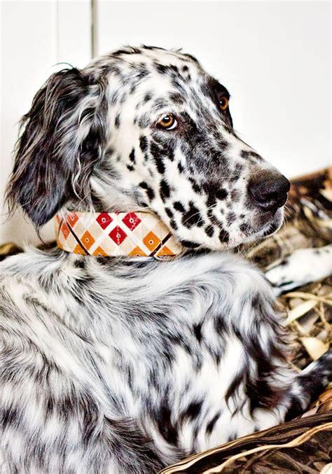 english setter dog collar 467 best english setter photography images on pinterest