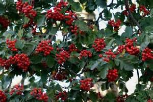 Sorbus mougeotii dark red berries in late summer stock photo image