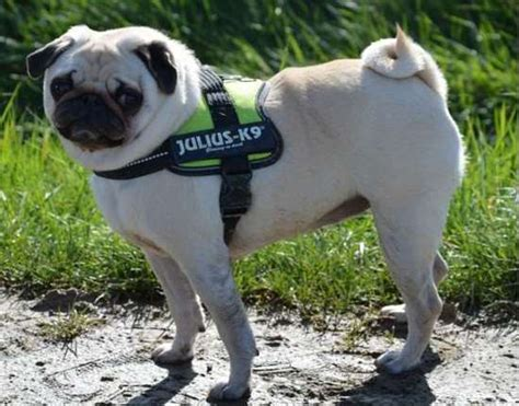 pug harness size julius k9 harnesses collars and others k9harness pug small race