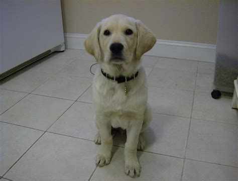 12 week puppy puppies 5 12 weeks breeds picture