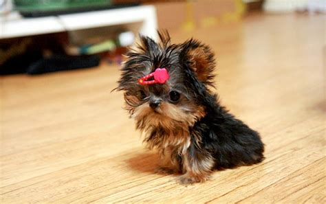 rescue yorkie puppies healthy terrier puppy for adoption dogs puppies