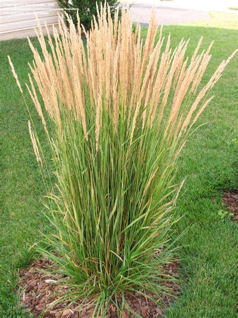 plantfiles pictures feather reed grass feather reed grass karl foerster calamagrostis