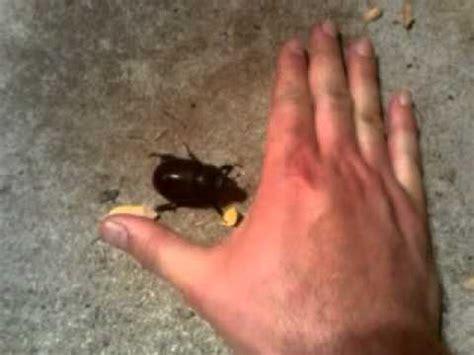 biggest bed bug biggest june bug ever youtube