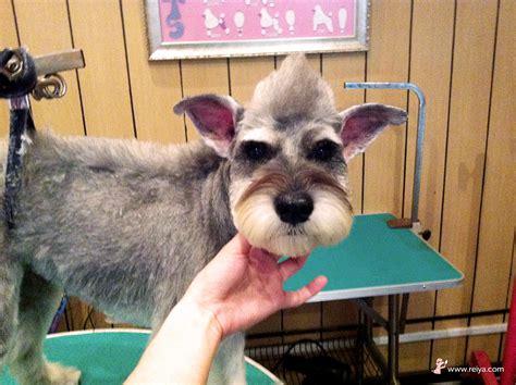 schnauzer mohawk schnauzer mohawk cut schnauzer mohawk dog grooming