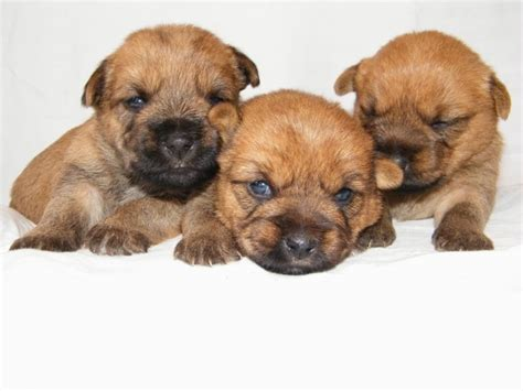 cairn terrier puppies for sale cairn terrier puppies inverness inverness shire