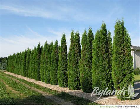 Backyard Landscape Ideas by Skybound Cedar Arborvitae Thuja Occidentalis Skybound