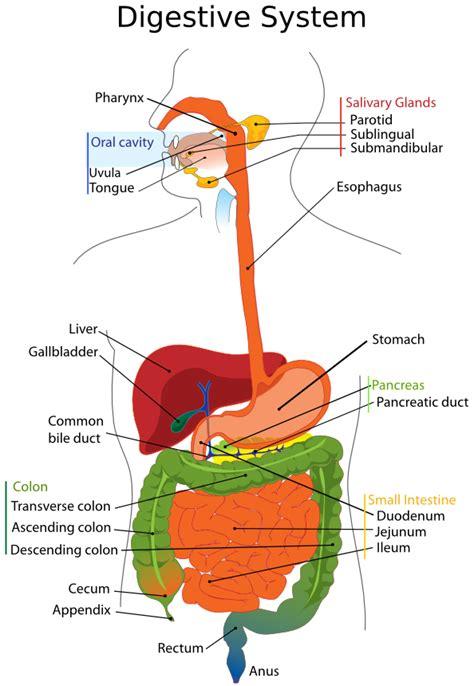 digestive system diagram quiz honors biology per 6 11 12