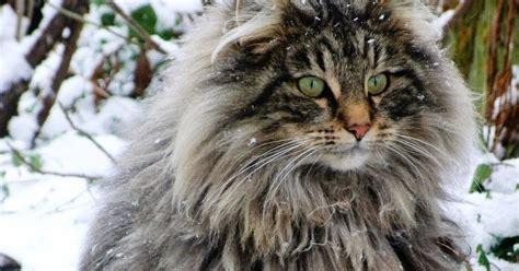 Sho Kucing Paling Murah open minda senarai baka kucing berbulu paling lebat dan