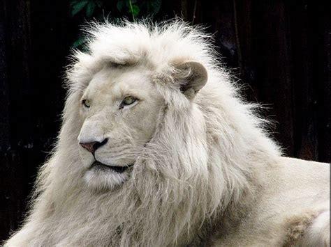 imágenes de leones juntos wallpaper de un le 243 n blanco im 225 genes y fotos