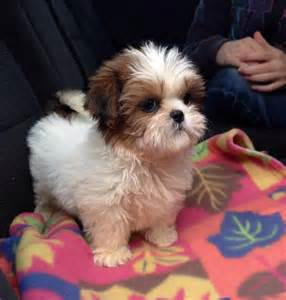 the cutest shih tzu in the world 25 best ideas about cutest puppy on cutest dogs cutest puppy and