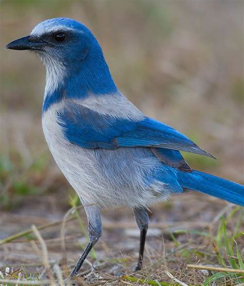 island scrub jay rare striking blue bird lives