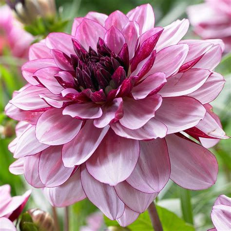 best 1146 dahlias images on pinterest gardening