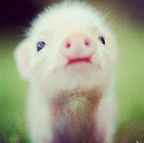 how do teacup pugs live top 25 ideas about things on baby pigs pets and teacup pigs