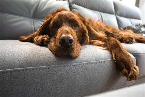 urin auf sofa entfernen tierhaare richtig entfernen tipps gegen hunde und