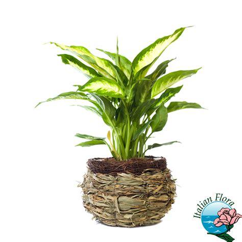 pianta da ufficio pianta diffenbachia da appartamento o ufficio