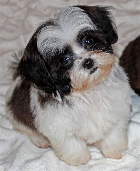 shih tzu peekapoo mix shih poo puppy for sale in boca raton south florida