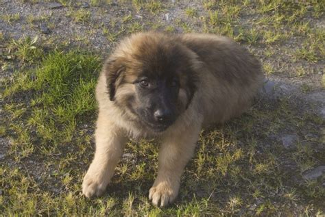 leonberger puppies cost how much the leonberger puppies generally cost
