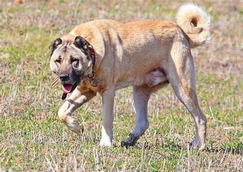 kangal dogs the dangerous dozen 12 most dangerous breeds dogs arena