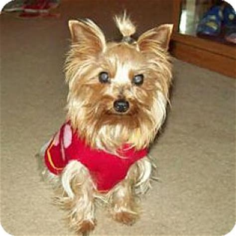 yorkie rescue in ohio cleveland oh yorkie terrier meet a for adoption