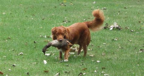 Nova Scotia Duck Tolling Retriever Dog Breed Information | nova scotia duck tolling retriever dog breed information