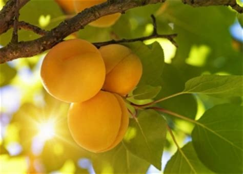 name a fruit that grows on trees viva la frutta how to say the names of fruit trees