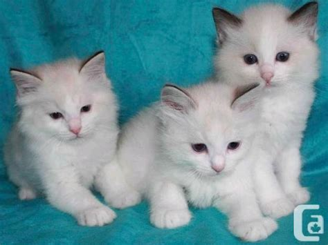 good looking ragdoll kittens for sale in abbotsford