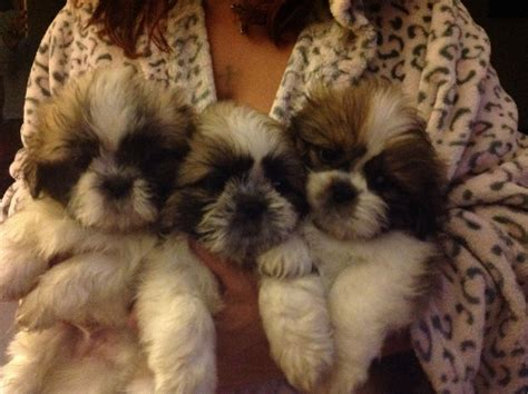 fluffy puppies for sale fluffy shih tzu puppies for sale birmingham west midlands pets4homes