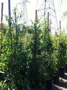 ficus nitida hedge privacy hedge ficus nitida indian laurel fig los