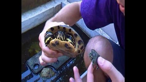 tartaruga d acqua alimentazione missione rettile le tartarughe quot aliene quot trachemys