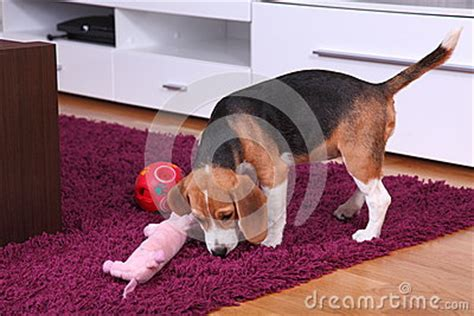 modern puppy apartment beagle puppy inside a modern apartment stock photo image 28397310