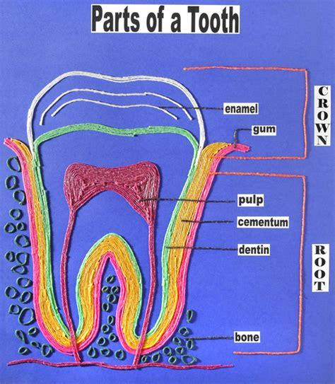 Parts Of A by Parts Of A Tooth