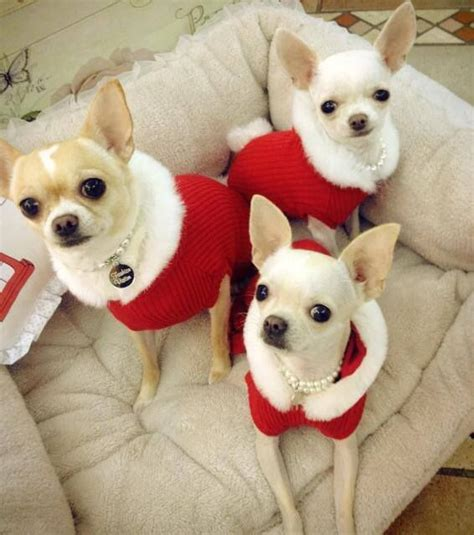 when do chihuahua puppies open their 17 best images about chihuahua dogs on chihuahuas chihuahua dogs and