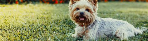 common yorkie problems yorkie breed history nutrition and common health problems