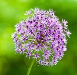 allium flower pictures purple allium flower bulbs