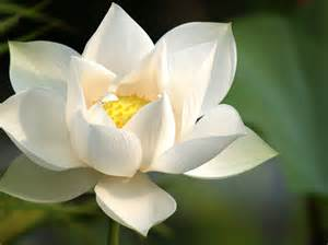 Whit Lotus White Lotus Flower One World Healing