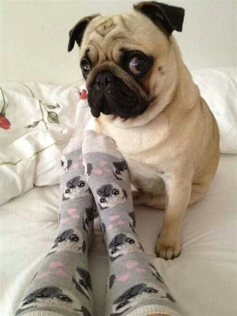 looking pugs 967 best images about carlins on pug sleep and pug