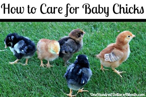 How To Care For Backyard Chickens by How To Care For Baby