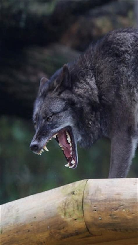 wallpaper iphone wolf yawning wolf animal iphone wallpapers iphone 5 s 4 s 3g