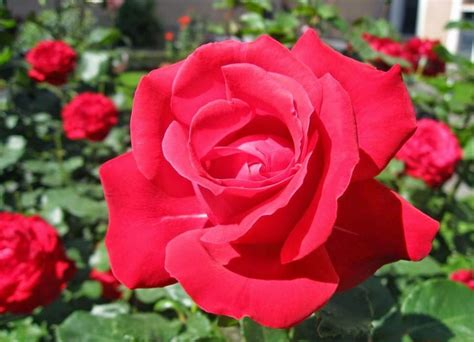 Bunga Bebybreat Asli Dan Fresh tanaman hias bunga mawar asli indonesia yang cantik bibitbunga