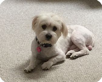 poodle rescue evansville indiana 25 best ideas about shih tzu poodle on