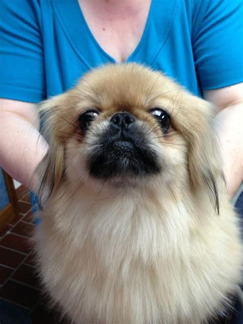 dog house thorndale pa petfinder adoptable dog pekingese downingtown pa