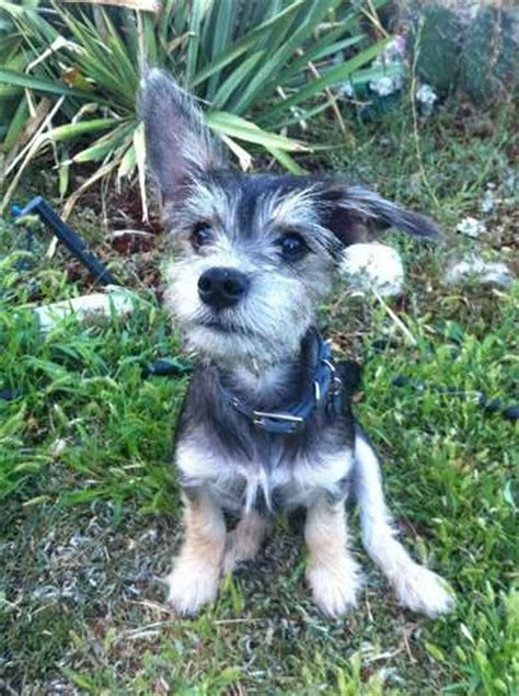 cairn terrier mix puppies chihuahua cairn terrier mix pictures breeds picture