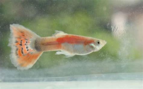 Pakan Ikan Louhan Burayak ikan hias informasi perikanan cara memelihara cara