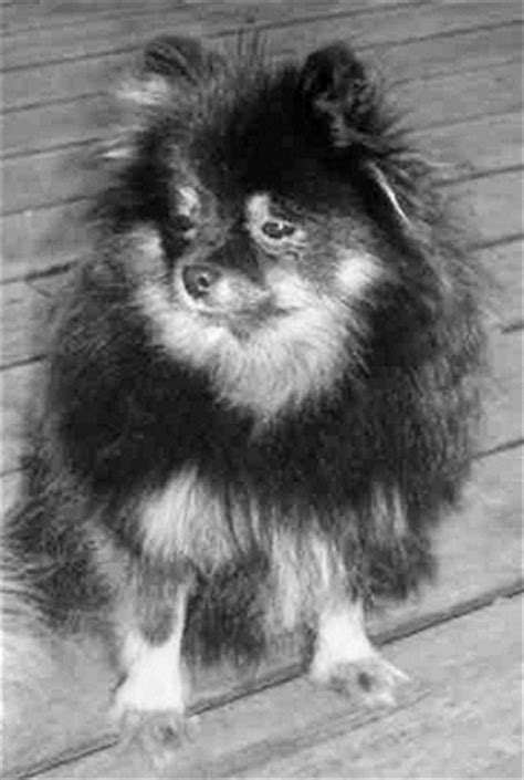 titanic pomeranian 21 best ideas about titanic on titanic museum boats and fox terriers